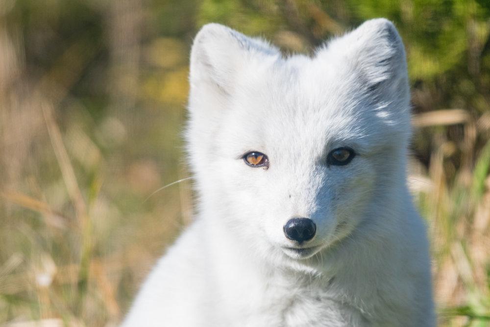 Curious little Arctic Fox.