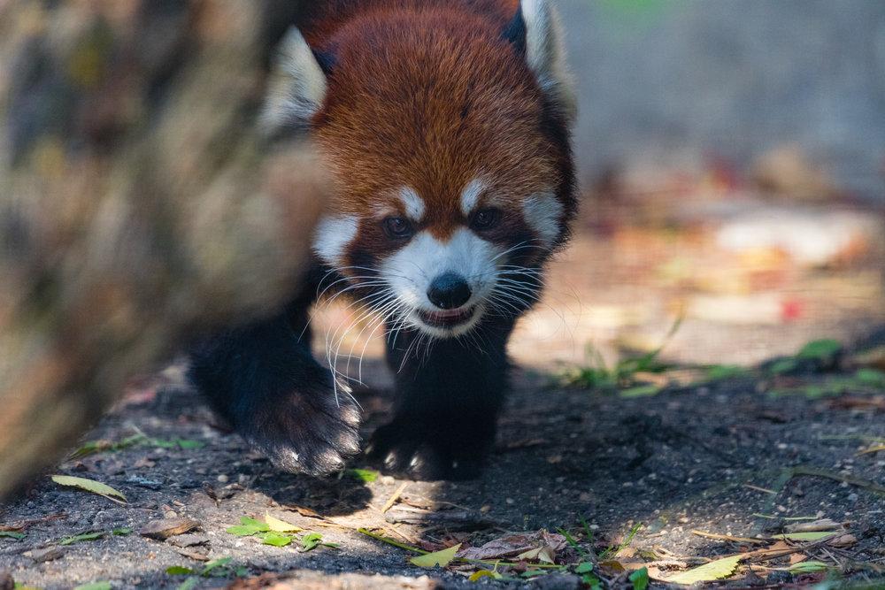 Red Panda on patrol.