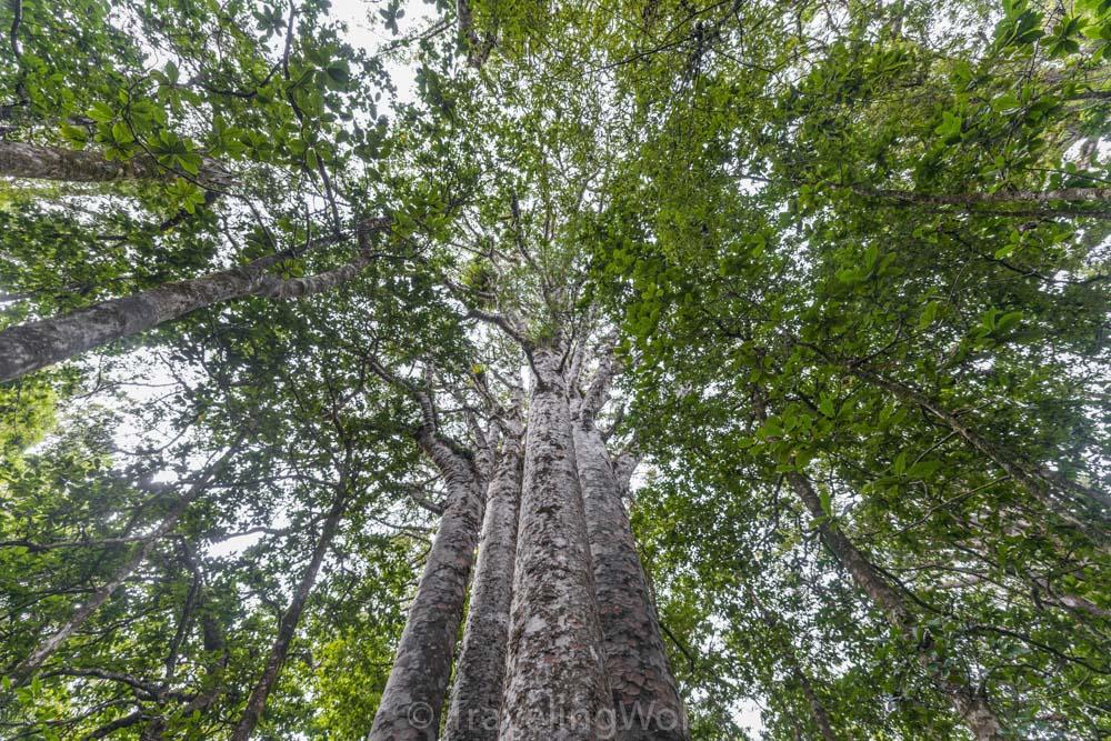 Kauri Trees, Northland