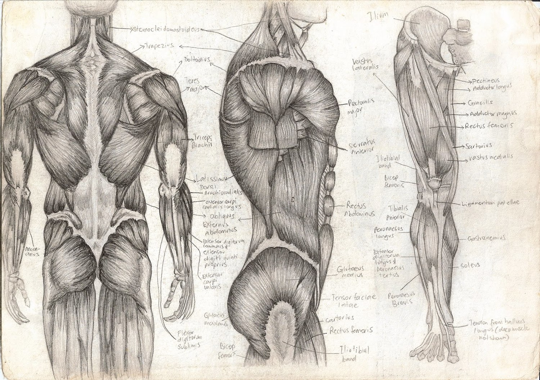 human anatomy profile choice image - learn human anatomy image, Muscles