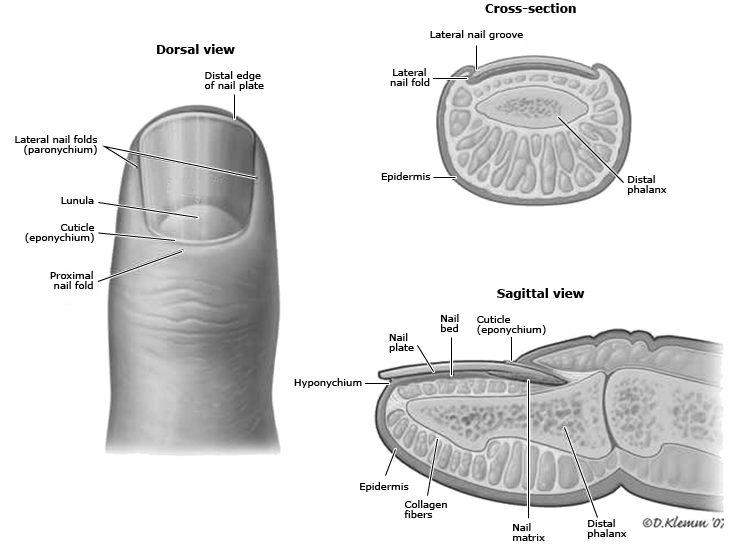 Nail_anatomy diagram.png