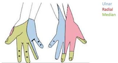 Img 1. Sensory innervation of hand