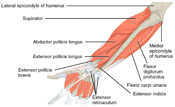 Img 10. Extensors of forearm