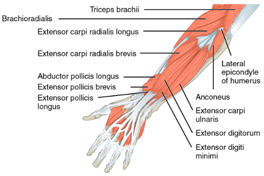 Img 11. Extensors of forearm