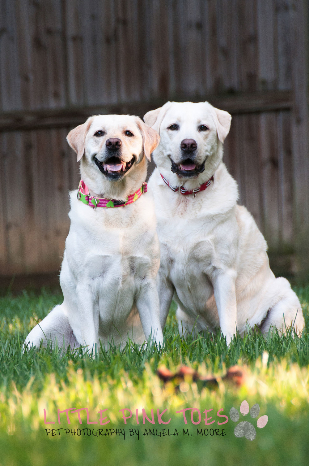 Labrador Retreiver Rescue Pet Photography 4