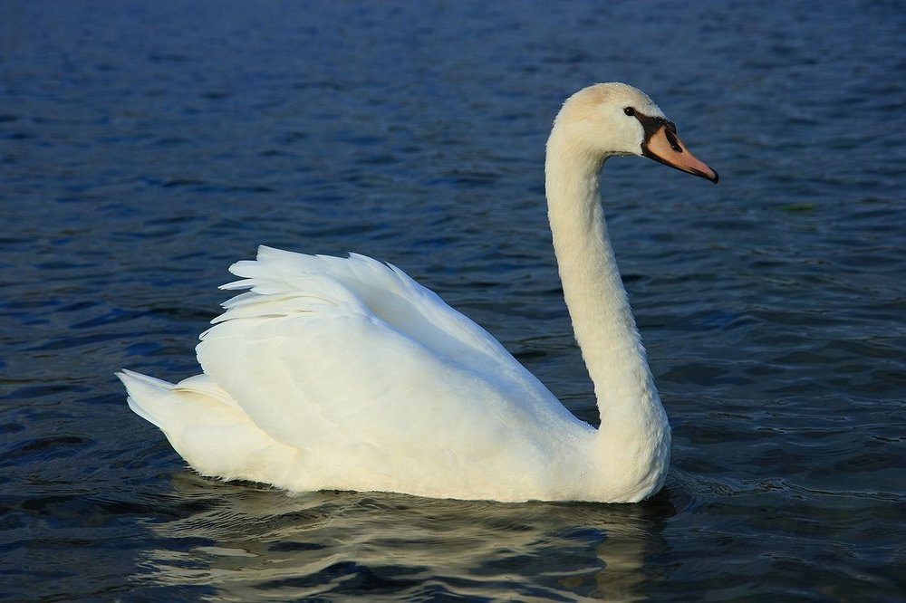 An adult mute swan ( Cygnus olor ) in Europe.  Wikimedia Commons .