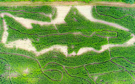 Trout maze 2017.jpg