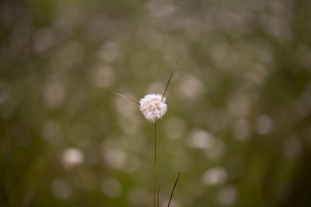 cottongrass.jpg