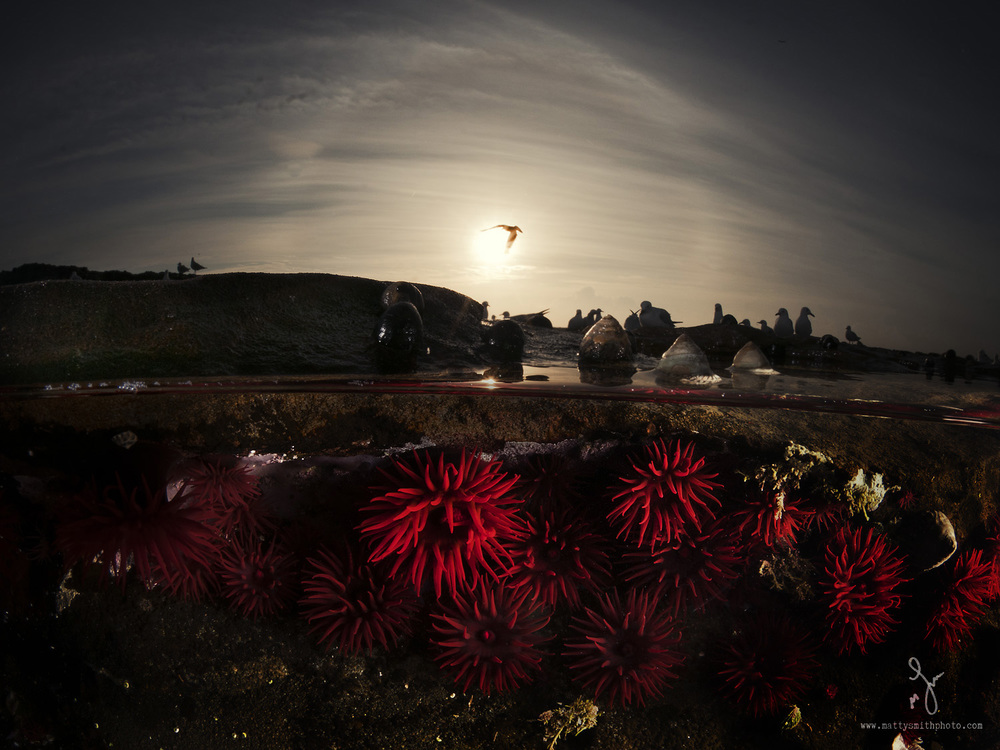 waratah_anemones_-over_underwater_11.jpg
