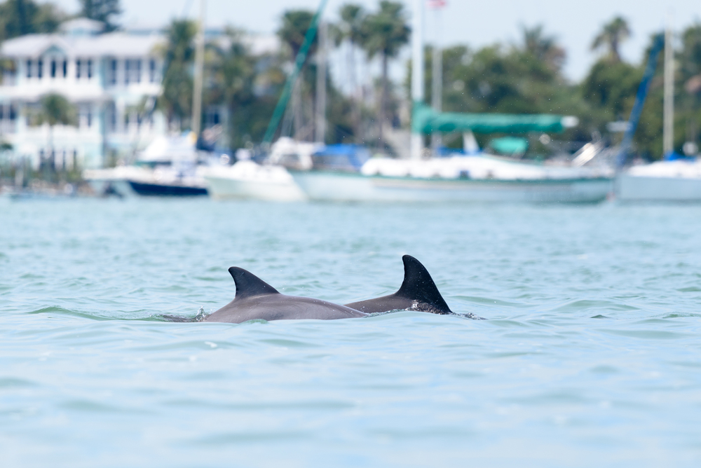 Dolphins playing near our kayak in Sarasota Bay
