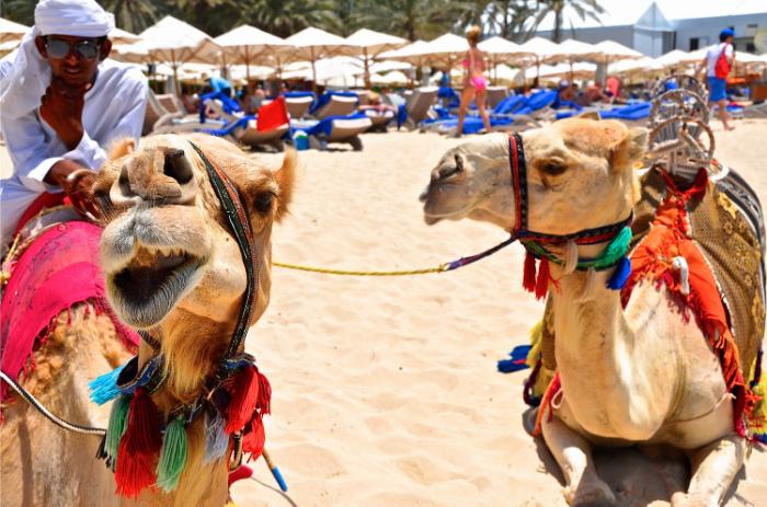 camelsindubai.png