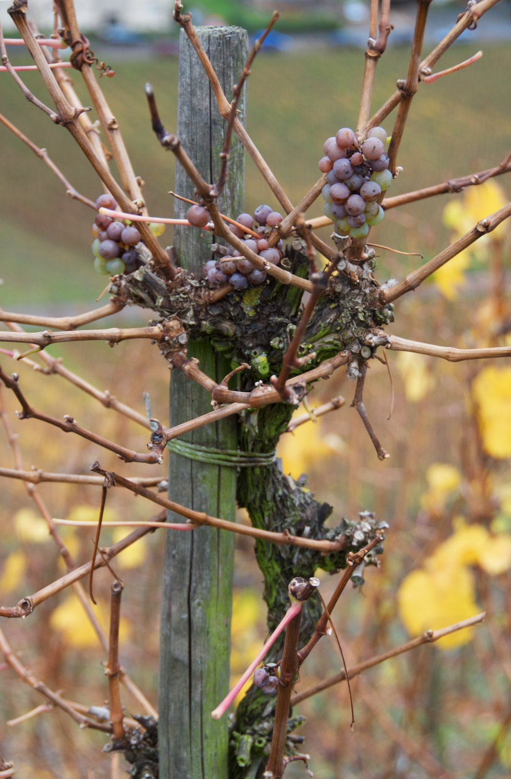 grapes-vineyard-traben-trarbach.png