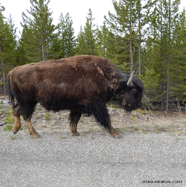 bison-yellowstone-park.jpg