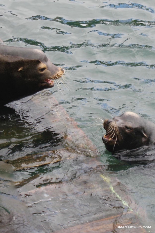 sea lions-newport-port dock one-yaquina bay.jpg