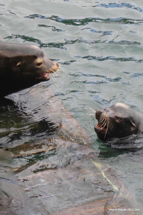 Newport Sea Lion Concerto