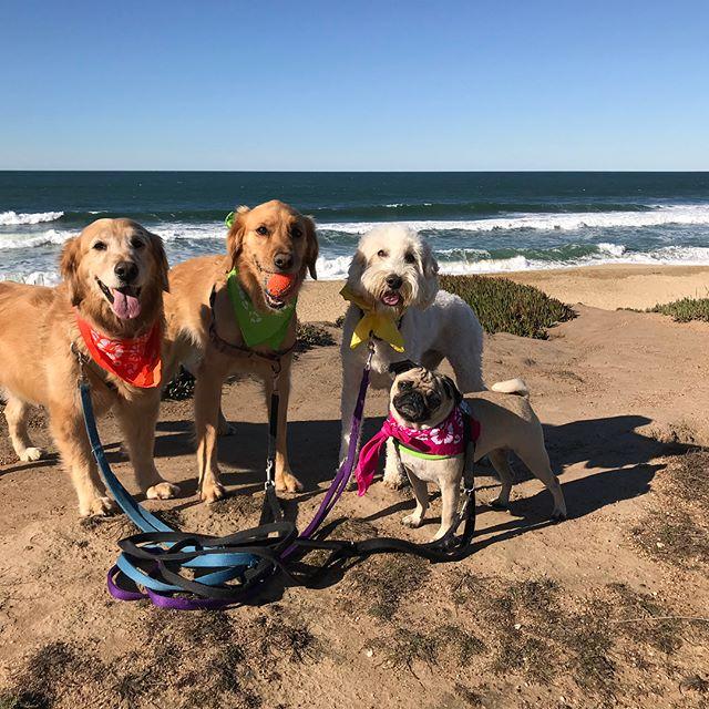 Bandana Day! --------------------------------------- 🐶#pointfetchmatch #instagramdogs 🐾#dogstagram #iflmdog #ilovemydog #dogwalker 🎾#adventuresindogwalking  #showcasing_pets #dogwalks #dogsareawesome #instadog #pets #sfprodog #baymeadowslife #dogsofinstagram #buzzfeedanimals #puppia #barkhappy #barkbox