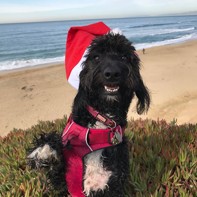Happy Holidays!!! --------------------------------------- 🐶#pointfetchmatch #instagramdogs 🐾#dogstagram #iflmdog #ilovemydog #dogwalker 🎾#adventuresindogwalking  #showcasing_pets #dogwalks #dogsareawesome #instadog #pets #sfprodog #baymeadowslife #dogsofinstagram #buzzfeedanimals #puppia #barkhappy #barkbox