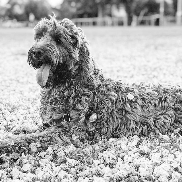 Alfie rests among the fallen seeds. . . . . . #melbourne #puppiesofinstagram #puppy #spoodle #spoodlesofinstagram #blackandwhite #spring