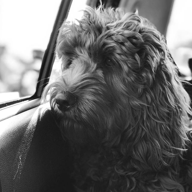 """""""We are not at the park yet, and I'm quite sure that's where we are going. But this is not the usual way, and I am beginning to have doubts about his ability to deliver me to happiness."""" . . . . . #melbourne #spoodle #puppies #puppy #puppiesofinstagram #AlfieAsMorganFreeman #blackandwhite"""