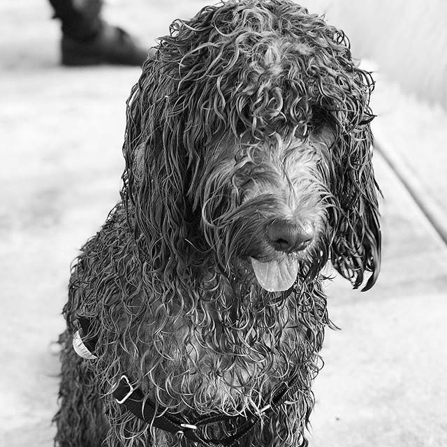 Alfie appears not to mind the rain... . . . . . #melbourne #rain #rainydays #puppy #puppiesofinstagram #melbournepuppy #spoodle #spoodlesofinstagram