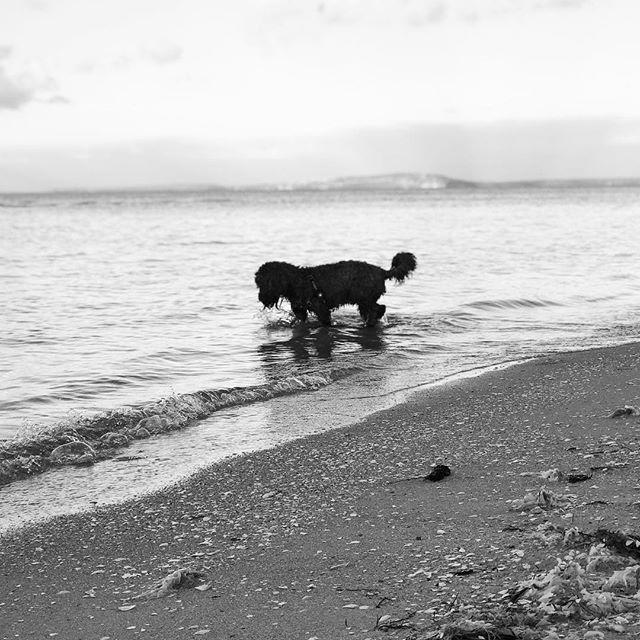 Alfie at the beach. . . . . . #puppy #puppiesofinstagram #spoodle #spoodlesofinstagram #beach #travel #MerryChristmas #blackandwhite