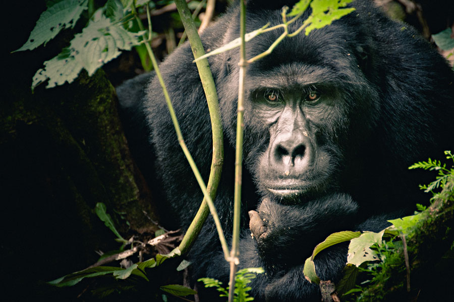 mountain-gorillas-uganda-007.jpg