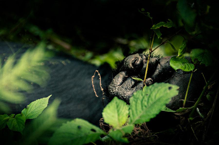 mountain-gorillas-uganda-009.jpg
