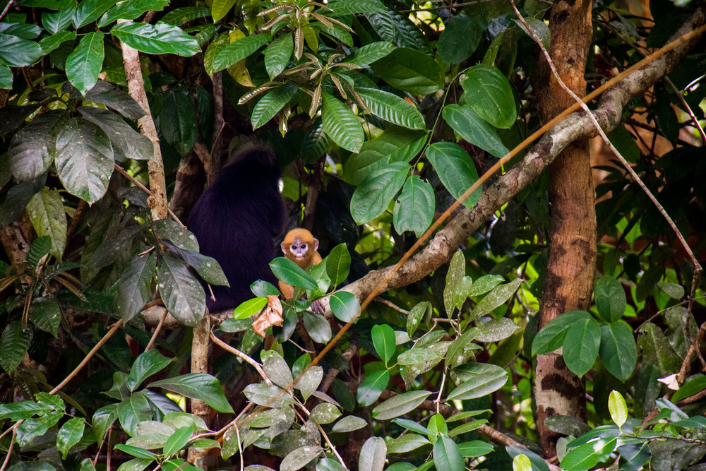 Spotting a shy dusky leaf monkey and her beautiful yellow baby
