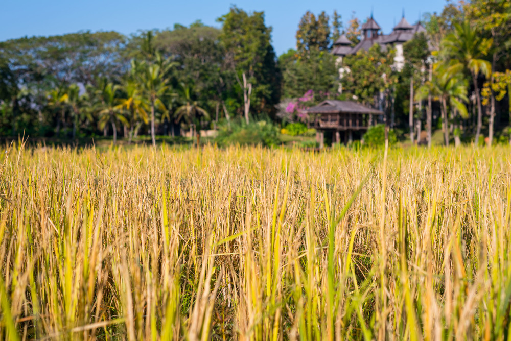 Looking over the rice fields at Four Seasons Chiang Mai