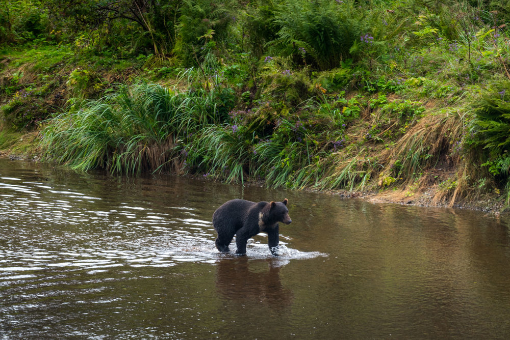 Searching for bears in Hoonah, Alaska