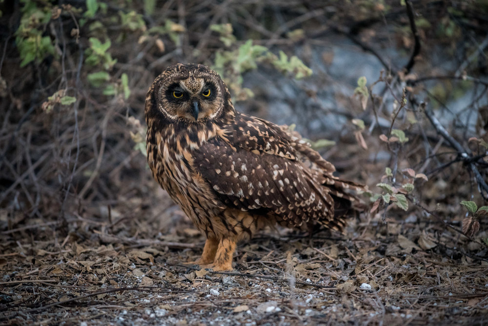 You have to always keep your eyes open in the Galapagos, because you never know when a short-eared owl is going to be right next to you!