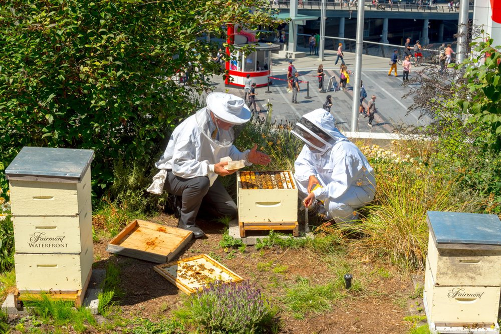 "Working with the ""Bee Butler"" at the Fairmont Waterfront, Vancouver"