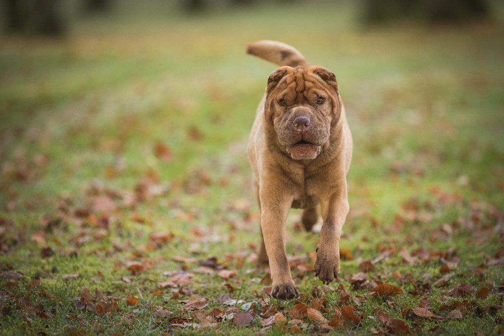 hund-hundefotograf-hundefotografering-fotograf-hodnedesign-pål-hodne-9703.jpg