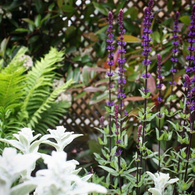 A #gorgeous mixture of Stachys, Salvia and Matteuccia in this #garden. #landscapearchitecture #design #flower