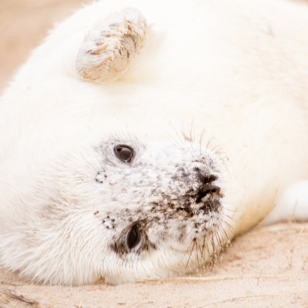 horsey seal