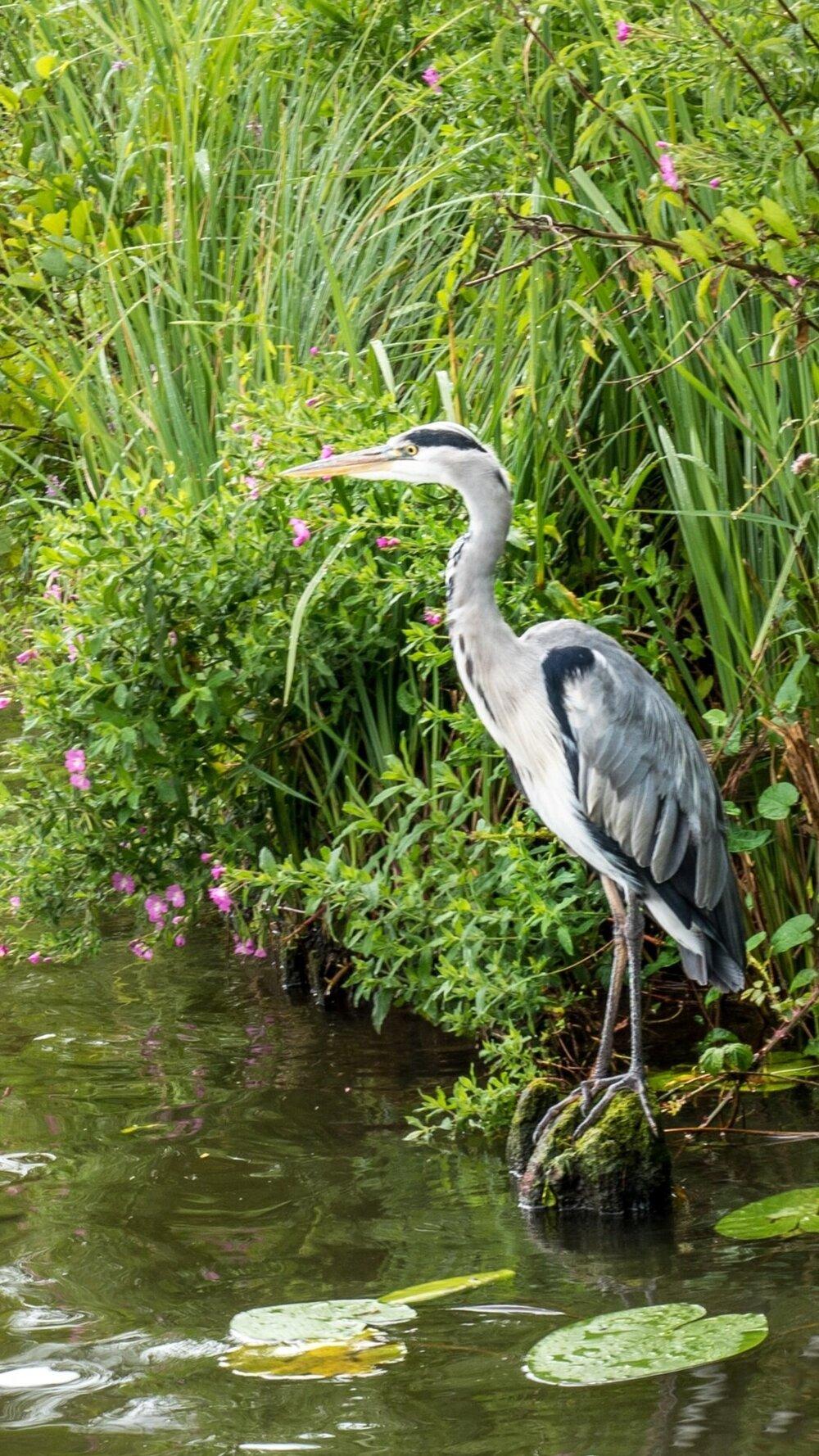Her'on Broads National Park, Norfolk