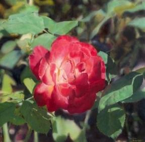 """Garden Rose"""