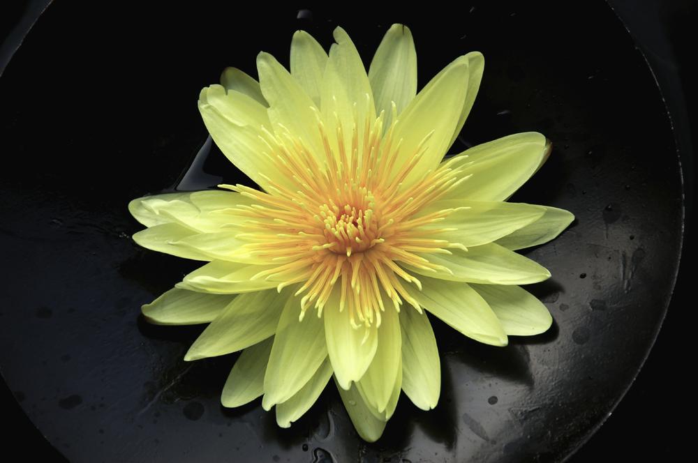 yellowlotusblack.jpg