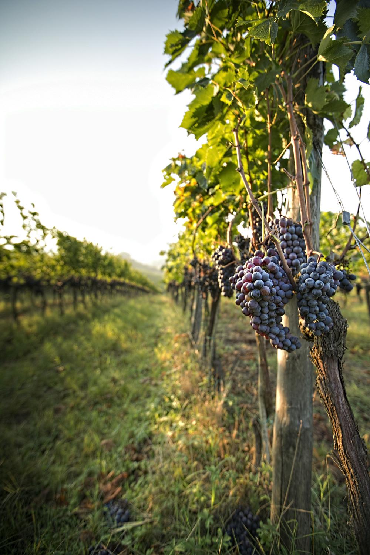 Chianti grapes.jpg