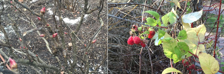 Red buds swelling on tree peonies and raspberries blooming in December in Westchester, NY