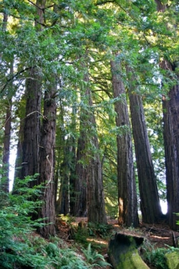 Redwoods-copy.jpg