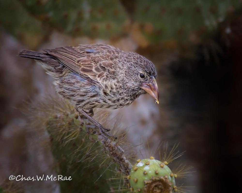 Darwin Finch sp.