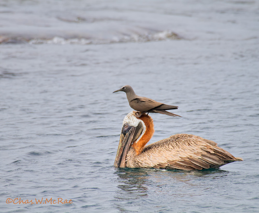 Brown Pelican and Brown Noddy