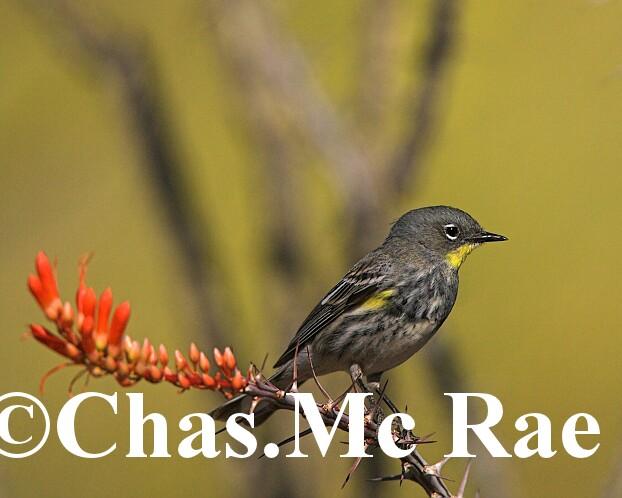 Yellow_rumped_Warbler_Audubon_s_Az_27292_01.jpg