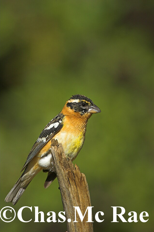 Black_Headed_Grosbeak_14585WR06_01.jpg