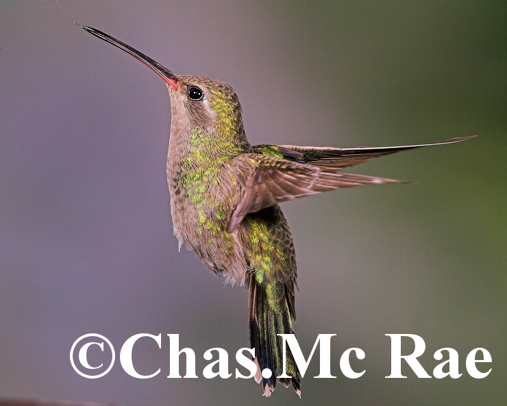 Broad_billed_Hummingbird_Female_MaderiaCanyon_Az_043844n_01.jpg