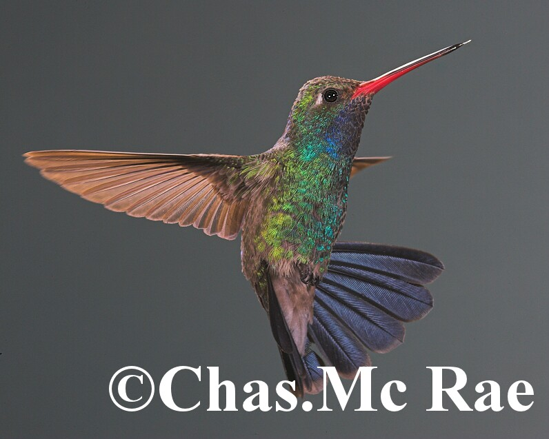 Broad_billed_Hummingbird_MaderiaCanyon_Az_043841n_01.jpg