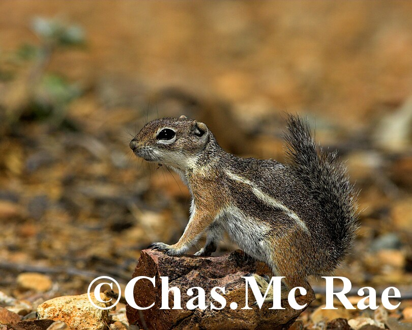 Harris_s_Antelope_Squirrel_Az_27020_01.jpg