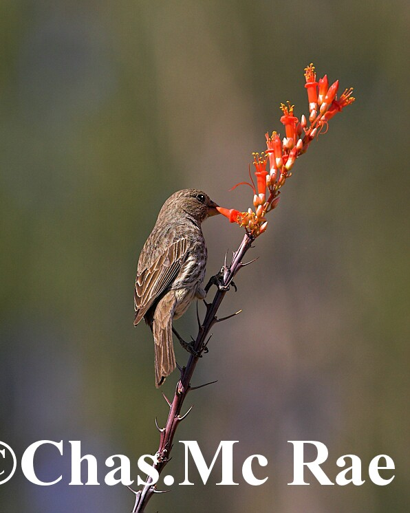 House_Finch_Female_Az_26998_01.jpg