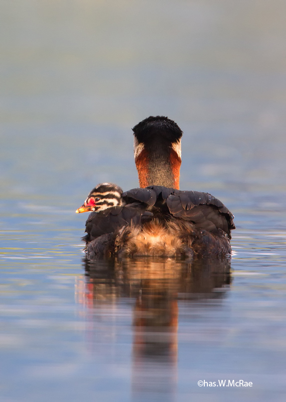 grebe_red_necked_t_t_100626_235321_00002.jpg